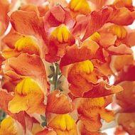Solstice Orange Tricolor (Snapdragon/semi-dwarf)