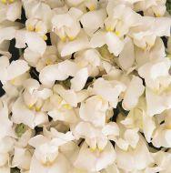 Solstice White (Snapdragon/semi-dwarf)