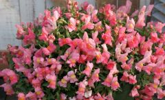 Candy Showers Pink (Snapdragon/dwarf/trailing)