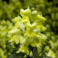 Snaptini™ Yellow (Snapdragon/dwarf)