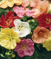 Bella™ Select Mix (Abutilon)
