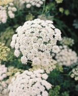 Queen of Africa (Ammi Majus)