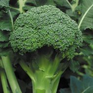 Emerald Pride (Broccoli)