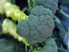 Asteroid (Broccoli)