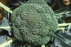 Hydra (Broccoli)