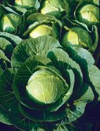 Multikeeper (Cabbage/storage)