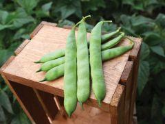 Velero (Green Bush Romano)