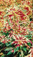 Tricolor (Amaranthus)