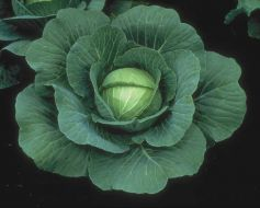 Charmant (Cabbage/early)