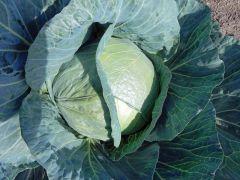 Topma (Cabbage/mid)