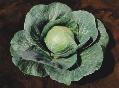 Stonehead (Cabbage/mid)