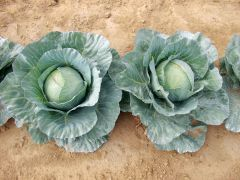 Blue Dynasty (Cabbage/mid)