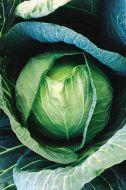 Blue Vantage (Cabbage/mid)