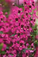 Serena Rose (Angelonia)
