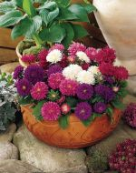 Pot 'N Patio® Mix (Aster)