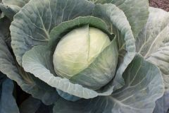 Xtreme Vantage (Cabbage/mid)