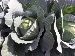 Hazelton (Cabbage/storage)