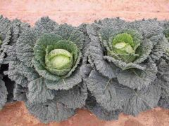 Serpentine (Cabbage/savoy)