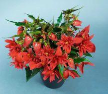 Funky Scarlet (Hybrid Begonia Pellets)