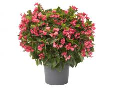 Viking XL Rose on Green (Begonia Pellets)