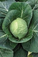 Fast Vantage (Cabbage/early)