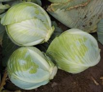 Sherrington (Cabbage/storage) (M)