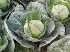 Gallican (Cabbage/early)