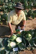 Grand Vantage (Cabbage/mid)