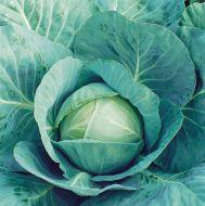 Tekila (Cabbage/main)