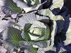 Flexima (Cabbage/storage)