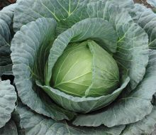 Viceroy (Cabbage/main/processor)