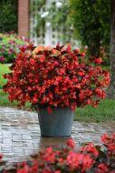Megawatt Red Bronze Leaf (Hybrid Begonia Pellets)