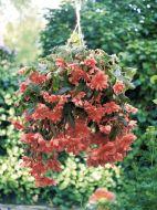 Illumination Salmon Pink (Tuberous Begonia)