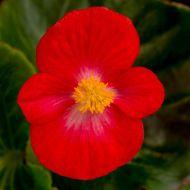 Tophat Scarlet (Hybrid Begonia Pellets)