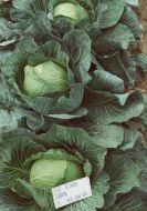 Loughton (Cabbage/storage)