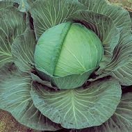 O-S Cross (Cabbage/roll production)