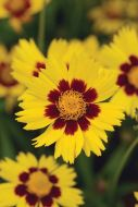 Sunkiss (Coreopsis)
