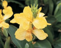 Tropical Yellow (Canna)