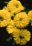 Bon Bon Bright Yellow (Calendula)