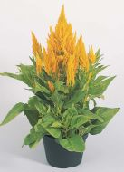 Fresh Look Yellow (Celosia)