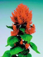 Fresh Look Orange (Celosia)