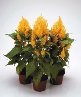 Fresh Look Gold (Celosia)