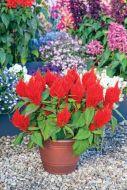 Bright Sparks Scarlet (Celosia/plumosa)