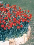 Can Can Scarlet (Dwarf Carnation)