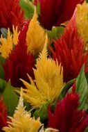 First Flame Mix (Celosia/plumosa)
