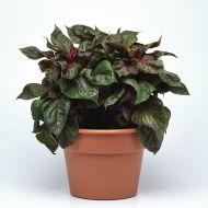 Sol™ Lizzard Green (Foliage Celosia)