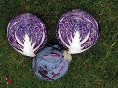 Resima (Cabbage/red/storage)
