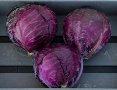 Roadie (Cabbage/Hybrid Red)