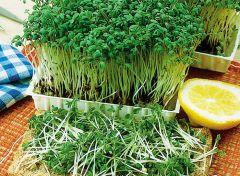 Fine Curled (Peppergrass - Garden Cress)