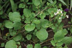 Watercress (Broad Leaf)